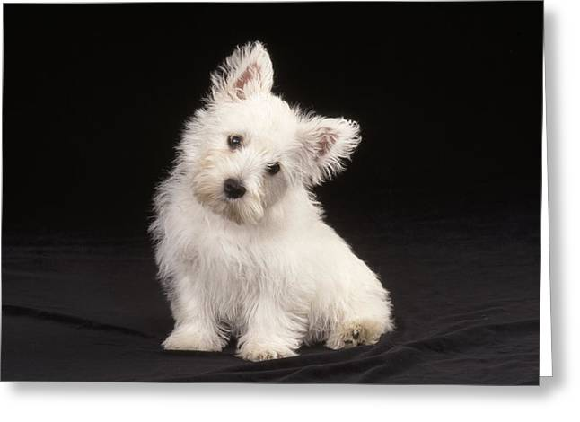 West Highland White Terrier Puppy Greeting Card by John Daniels