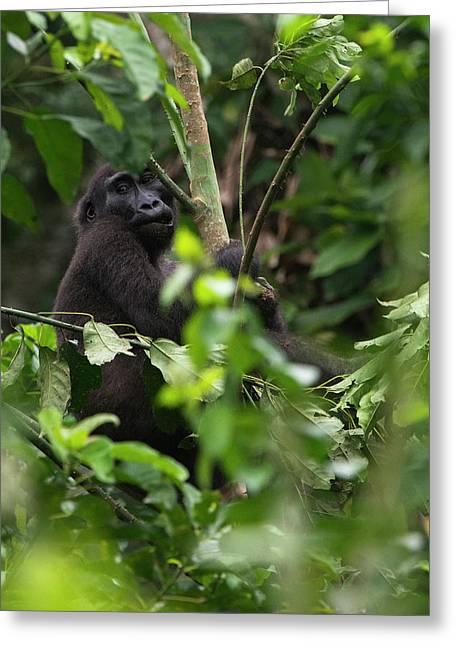 Western Lowland Gorilla, Ngaga, Odzala Greeting Card by Pete Oxford