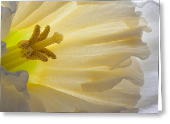 White Daffodil  Greeting Card