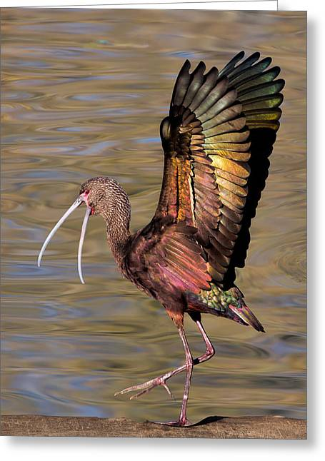 White-faced Ibis In Winter Greeting Card
