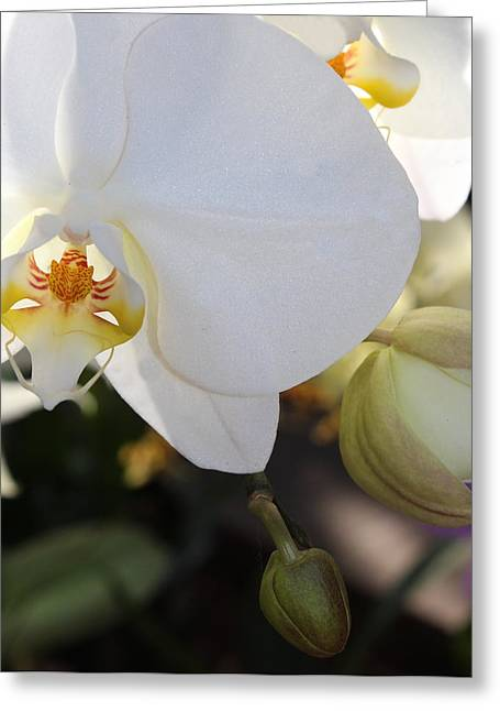 White Orchid Three Greeting Card by Mark Steven Burhart