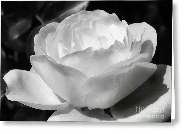 White Rose Greeting Card by Amy Williams