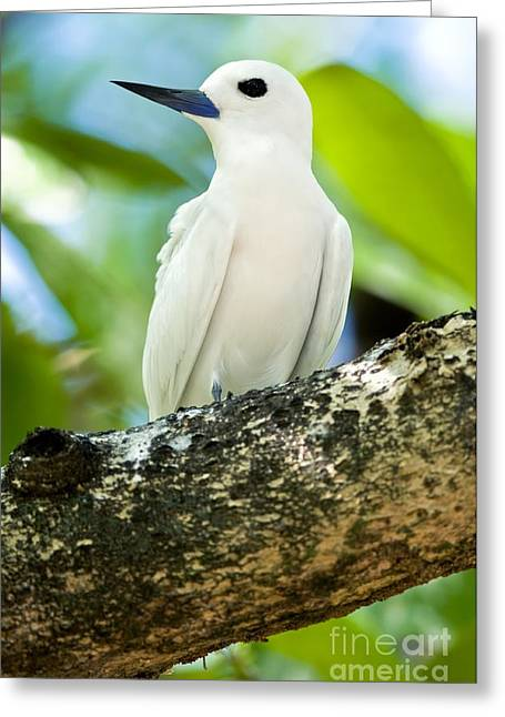 White Tern Greeting Card by Peter Chadwick