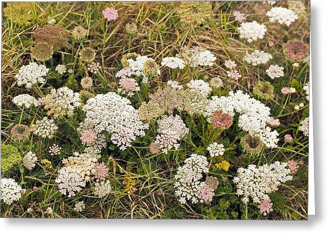 Wild Carrot (daucus Carota) Greeting Card by Science Photo Library