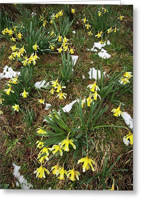 Wild Daffodil (narcissus Pseudonarcissus) Greeting Card
