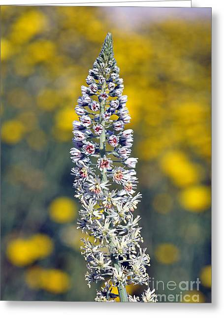 Wild Mignonette Flower Greeting Card by George Atsametakis