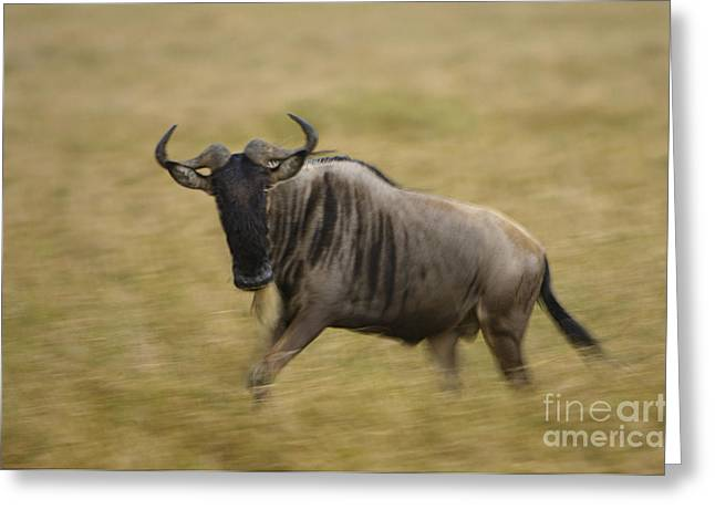 Wildebeest Greeting Card by John Shaw