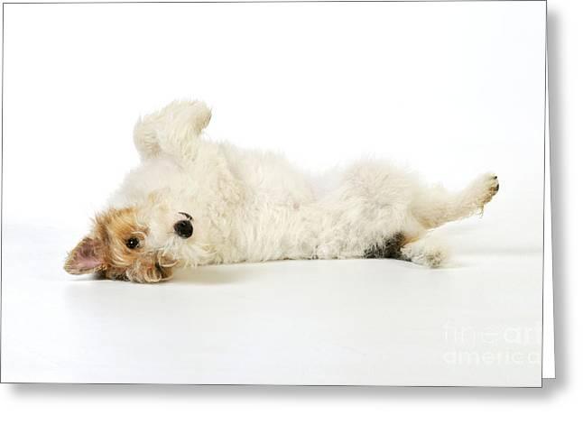 Wire Fox Terrier Greeting Card by John Daniels