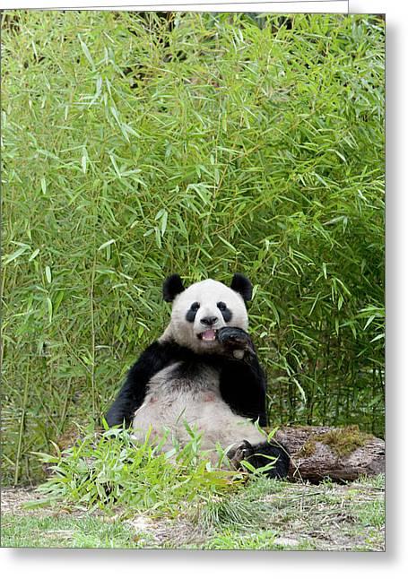 Wolong Reserve, China, Giant Panda Greeting Card by Alice Garland