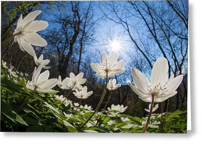 Wood Anemone (anemone Nemorosa) Greeting Card