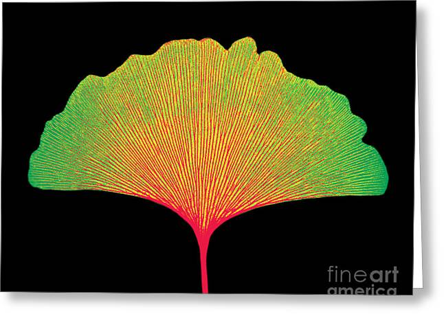 X-ray Of Ginkgo Leaf Greeting Card by Bert Myers