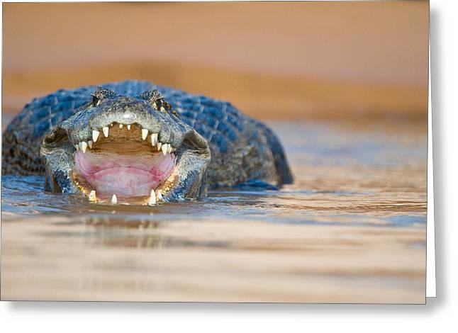 Yacare Caiman Caiman Crocodilus Yacare Greeting Card by Panoramic Images