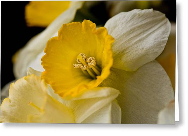 Yellow Daffodils Greeting Card by John Holloway