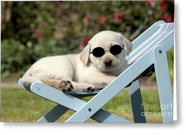 Yellow Lab Puppy Dog Greeting Card by John Daniels
