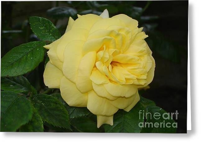 Greeting Card featuring the photograph Yellow Rose  by Katy Mei