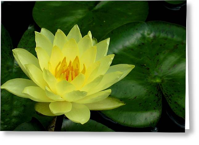 Yellow Waterlily Flower Greeting Card