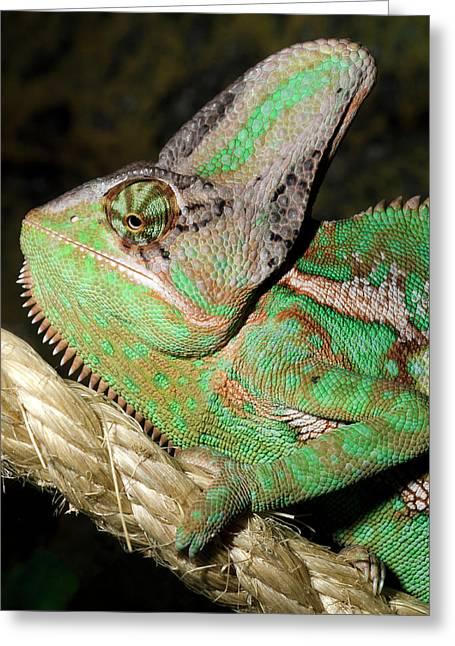Yemen Or Veiled Chameleon Greeting Card by Nigel Downer