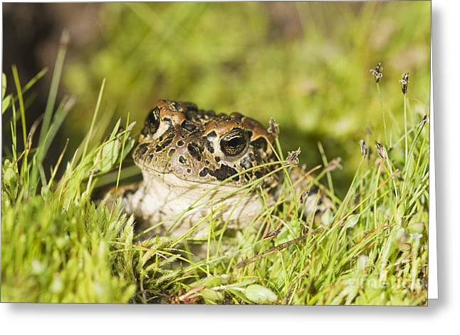 Yosemite Toad Greeting Card by Dan Suzio