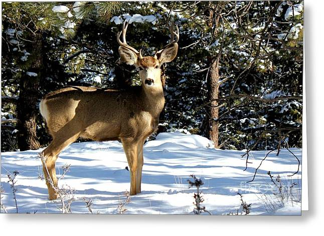 Young Buck Greeting Card by Claudette Bujold-Poirier
