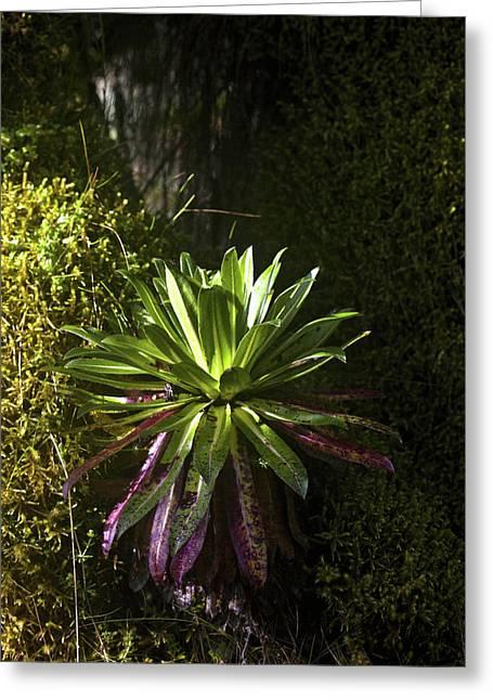 Young Giant Lobelia (lobelia Wollastonii Greeting Card