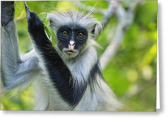 Zanzibar Red Colobus In Tree Jozani Greeting Card by Thomas Marent
