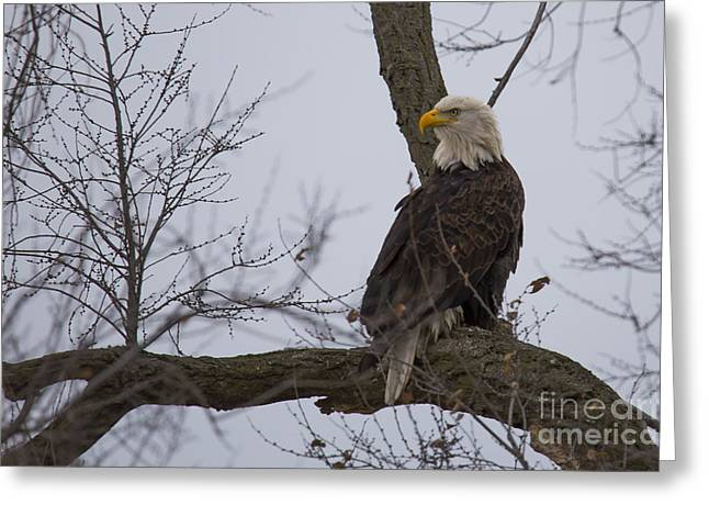 Bald Eagle In Burlington Iowa Greeting Card by Twenty Two North Photography