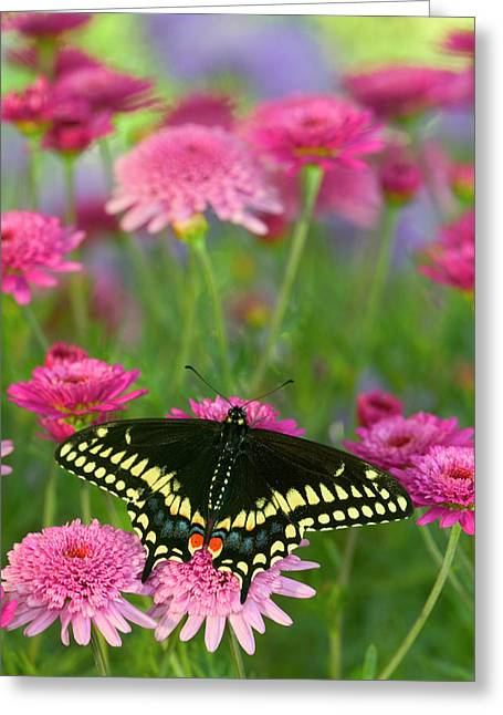 Black Swallowtail Butterfly, Papilio Greeting Card
