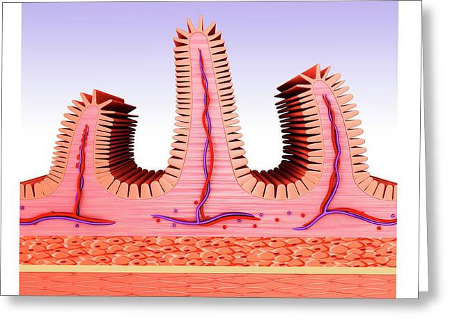 Small Intestine Greeting Card by Pixologicstudio