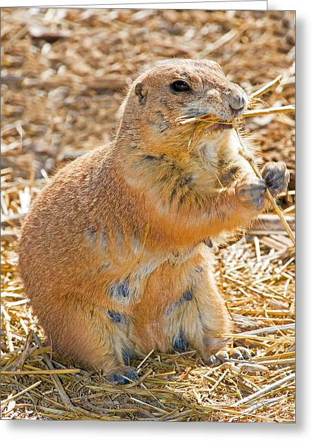 Black tailed prairie dog greeting cards page 4 of 12 fine art black tail prairie dog greeting card m4hsunfo