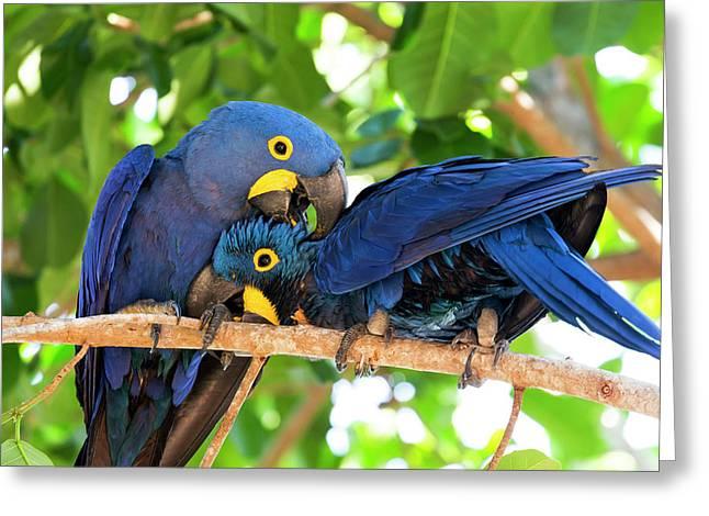 Brazil, Mato Grosso, The Pantanal Greeting Card