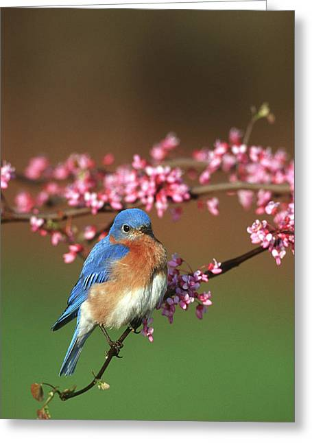 Eastern Bluebird (sialia Sialis Greeting Card by Richard and Susan Day