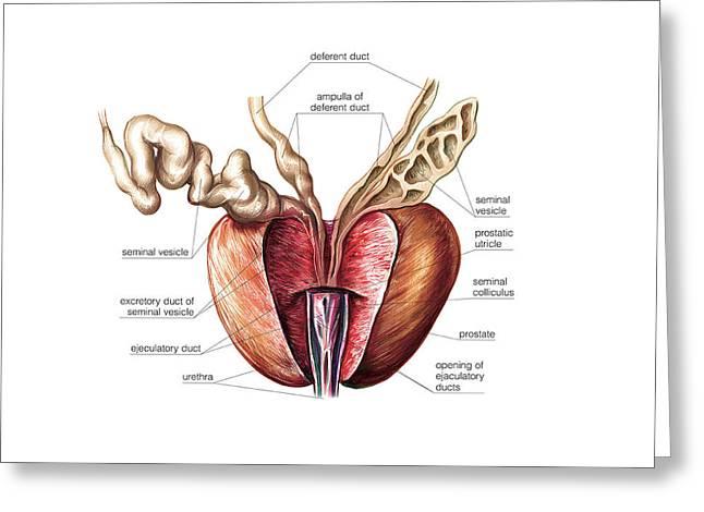 Male Genital System Greeting Card