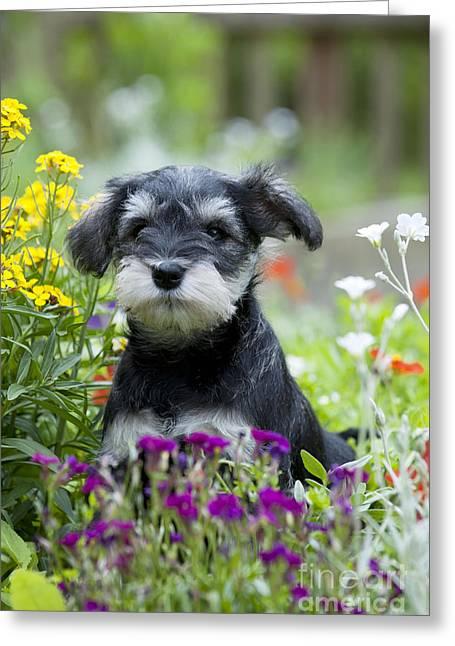 Schnauzer Puppy Dog Greeting Card