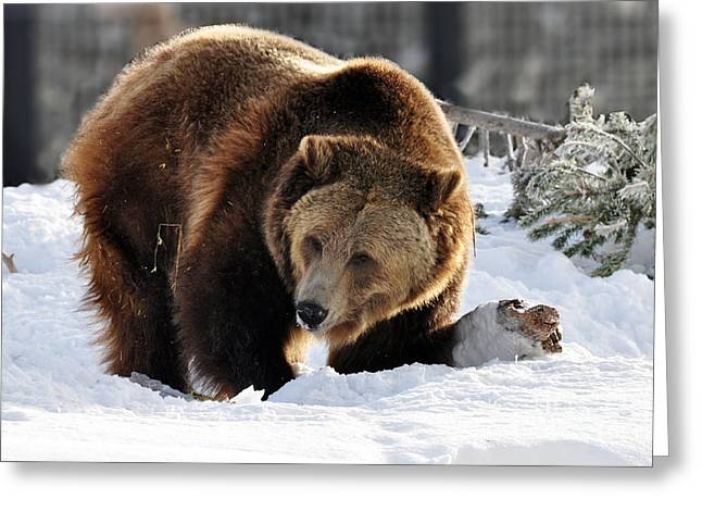 229p Grizzly Bear Greeting Card
