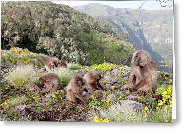 Gelada, Gelada Baboon (theropithecus Greeting Card by Martin Zwick