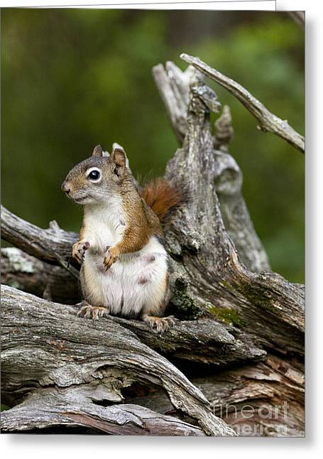 Red Squirrel Greeting Card by Linda Freshwaters Arndt