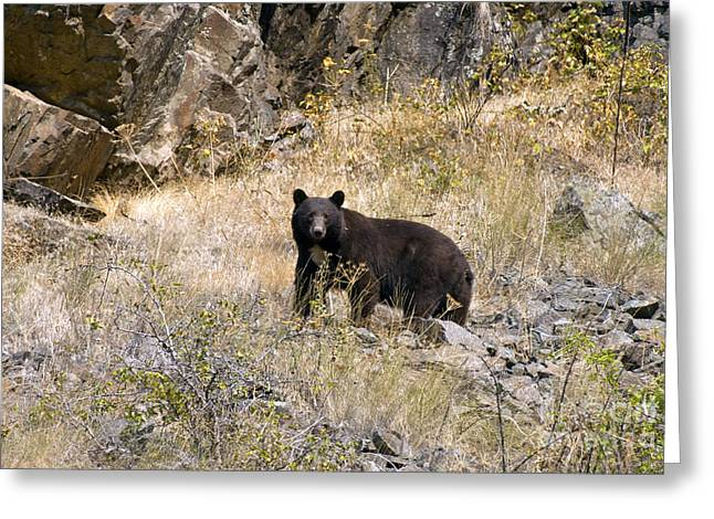 231p Black Bear Greeting Card