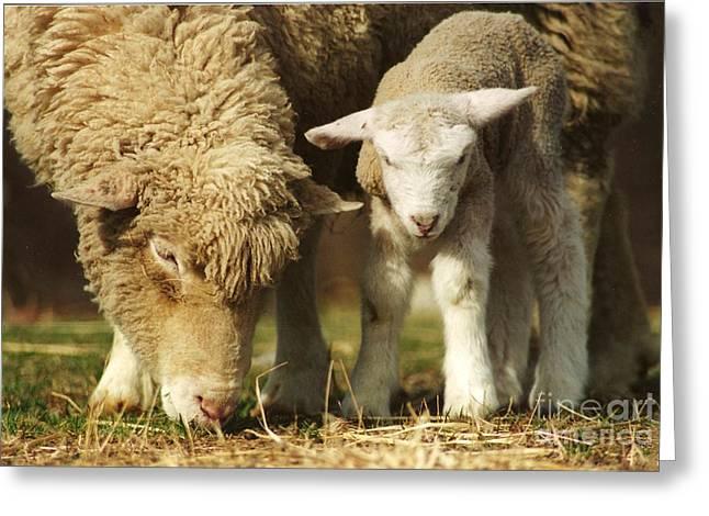#237 Mom And Baby Lamb Film  Greeting Card