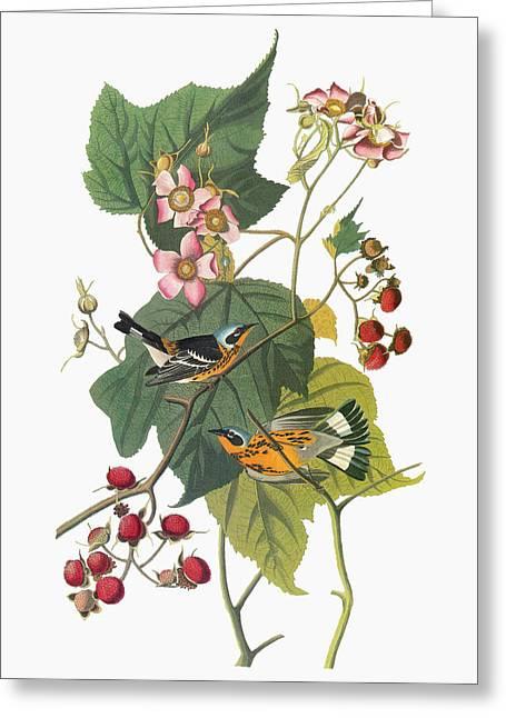 Audubon Warbler Greeting Card