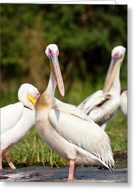 Great White Pelican (pelecanus Greeting Card by Martin Zwick