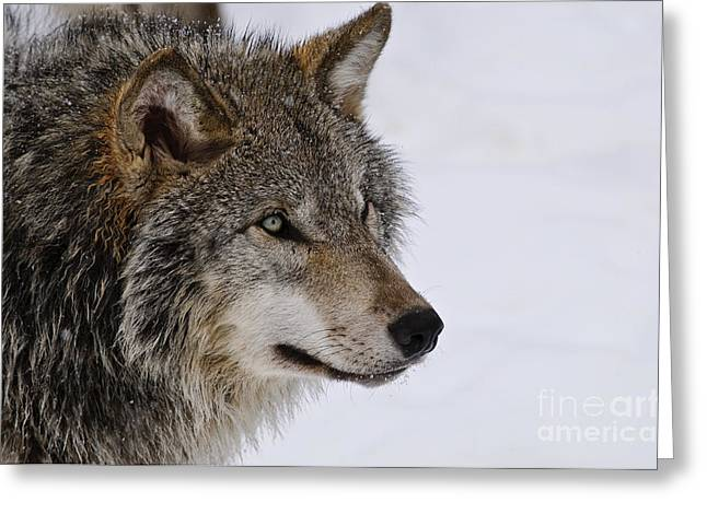 Timber Wolf Pictures Greeting Card
