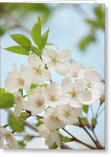 Yoshino Cherry (prunus X Yedoensis) Greeting Card by Maria Mosolova