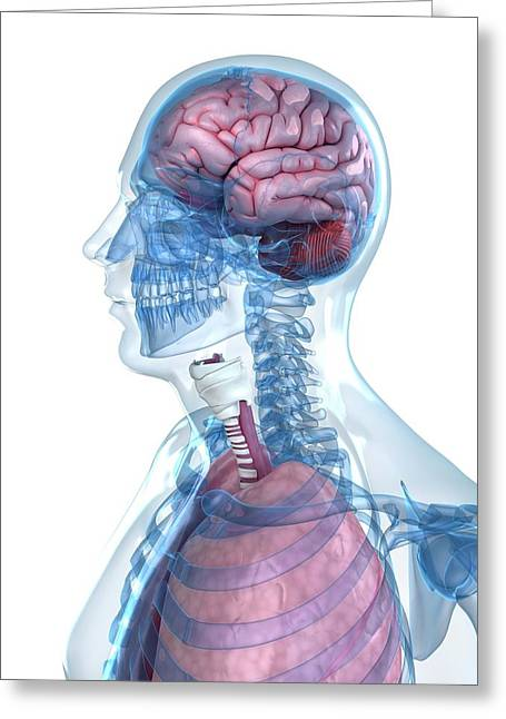 Head Anatomy Greeting Card by Sciepro/science Photo Library