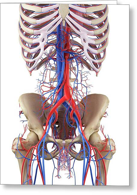 Human Vascular System Greeting Card by Sciepro