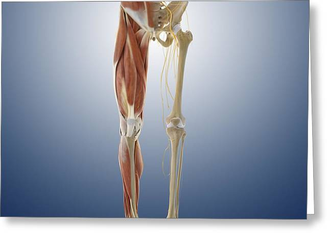 Lower Body Anatomy, Artwork Greeting Card by Science Photo Library