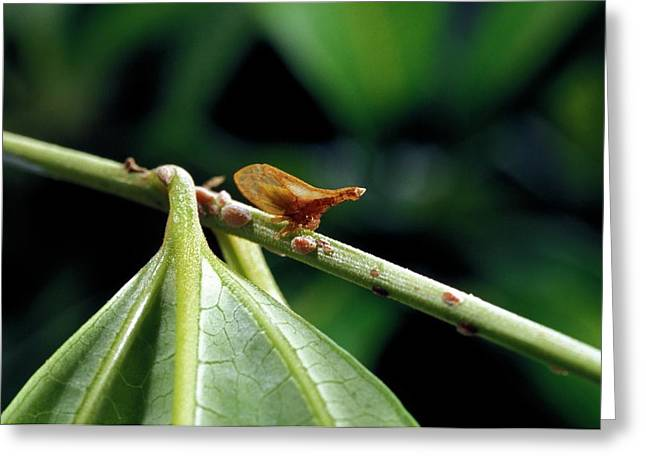 Treehopper Greeting Card by Patrick Landmann/science Photo Library
