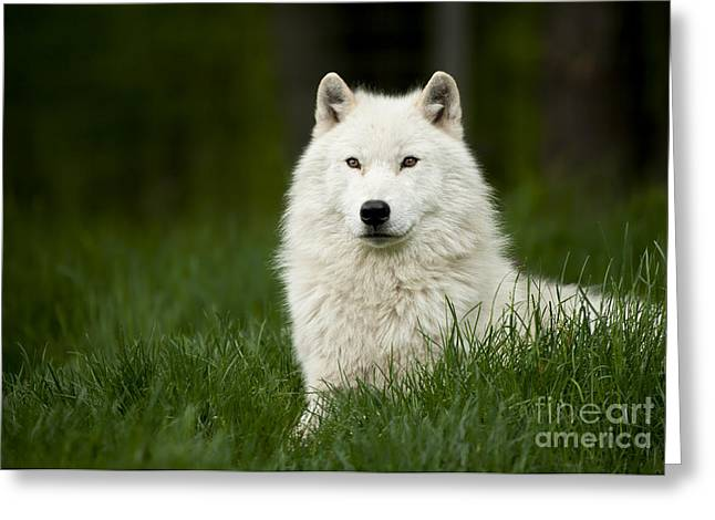 Arctic Wolf Greeting Card by Wolves Only