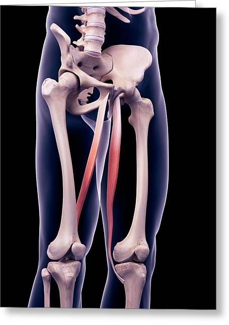 Thigh Muscles Greeting Card by Sebastian Kaulitzki/science Photo Library