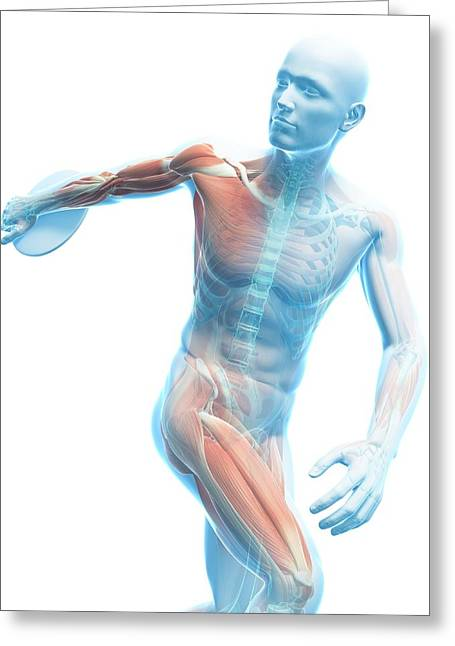 Male Musculature Greeting Card by Sciepro/science Photo Library