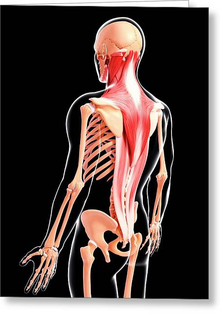 Human Musculature Greeting Card by Pixologicstudio/science Photo Library